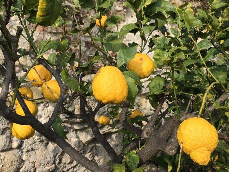 Limoni varietà PANE DEL PICENO dello storico AGRUMETO BACHER di Grottammare